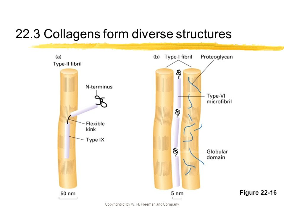 Copyright (c) by W. H. Freeman and Company 22.3 Collagens form diverse structures Figure 22-16