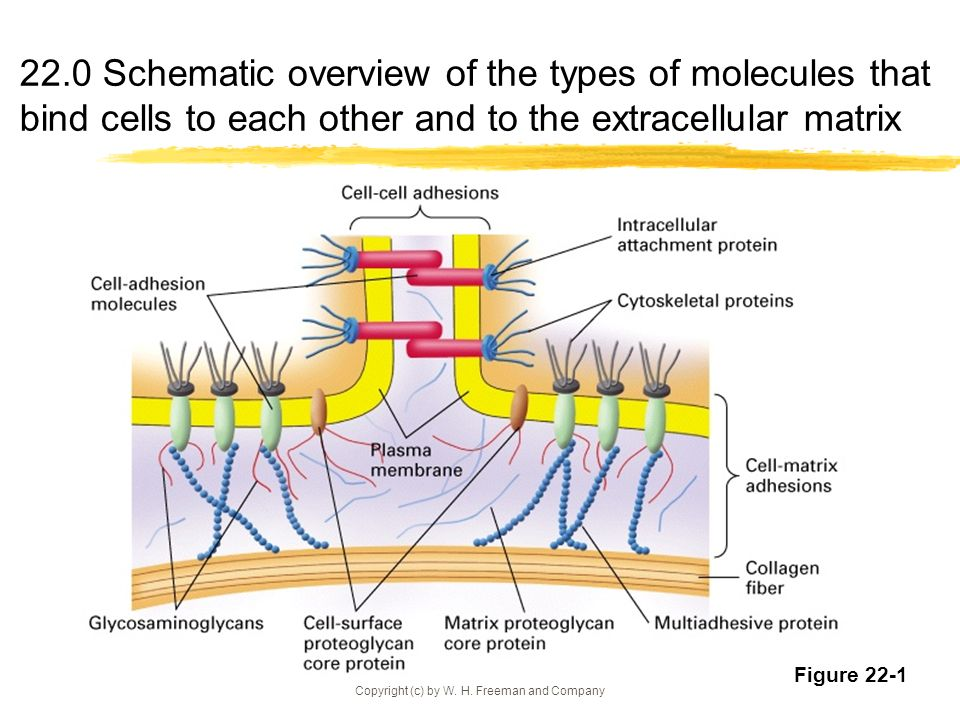 Copyright (c) by W. H. Freeman and Company 22.0 Schematic overview of the types of molecules that bind cells to each other and to the extracellular ma