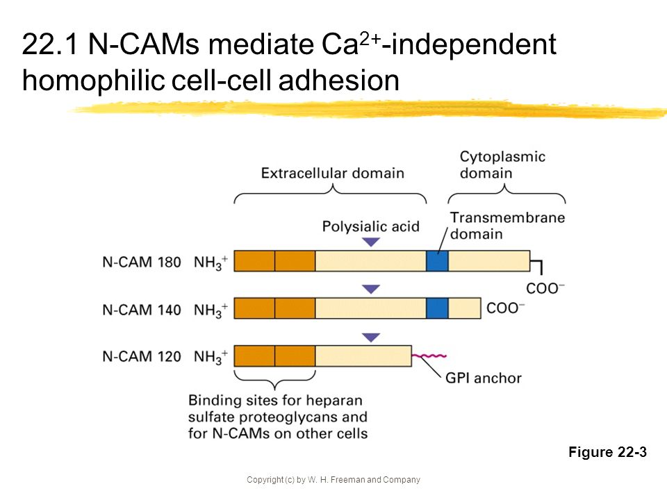 Copyright (c) by W. H. Freeman and Company 22.1 N-CAMs mediate Ca 2+ -independent homophilic cell-cell adhesion Figure 22-3