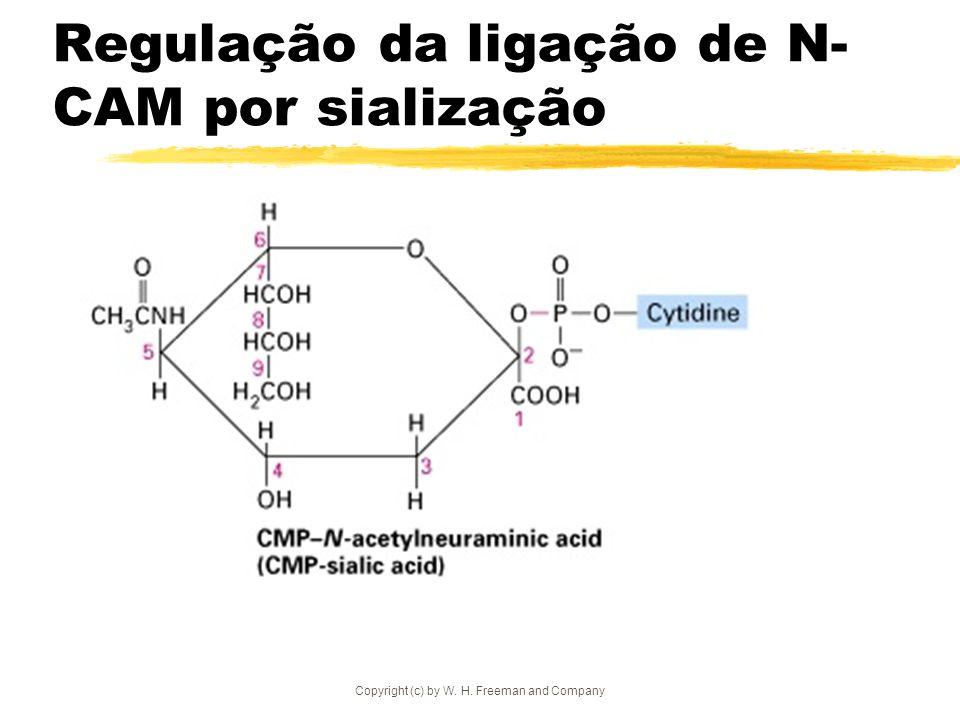 Copyright (c) by W. H. Freeman and Company Regulação da ligação de N- CAM por sialização