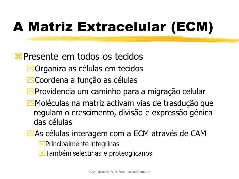 Copyright (c) by W. H. Freeman and Company A Matriz Extracelular (ECM) zPresente em todos os tecidos yOrganiza as células em tecidos yCoordena a funçã