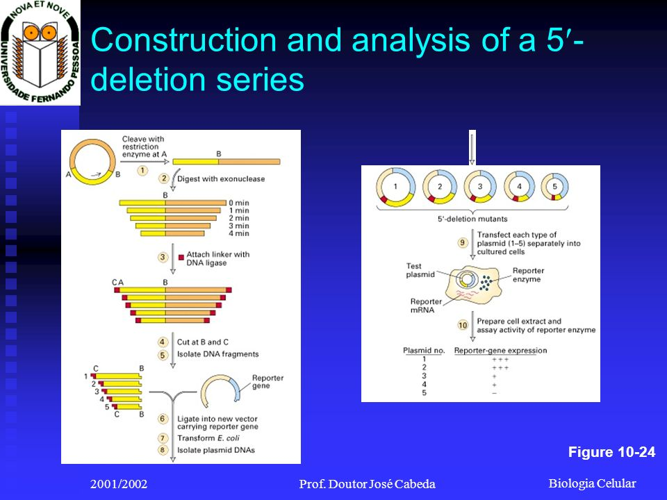 Biologia Celular 2001/2002Prof. Doutor José Cabeda Construction and analysis of a 5 - deletion series Figure 10-24