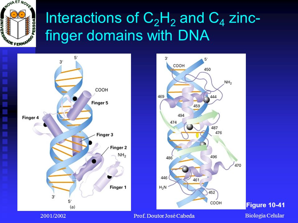 Biologia Celular 2001/2002Prof. Doutor José Cabeda Interactions of C 2 H 2 and C 4 zinc- finger domains with DNA Figure 10-41