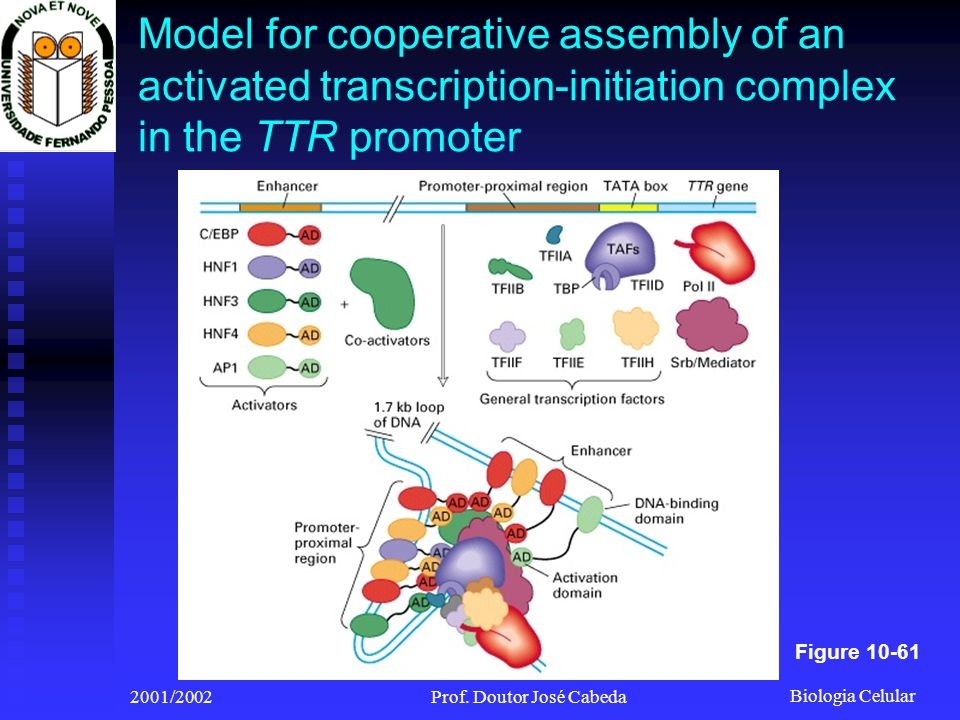 Biologia Celular 2001/2002Prof. Doutor José Cabeda Model for cooperative assembly of an activated transcription-initiation complex in the TTR promoter