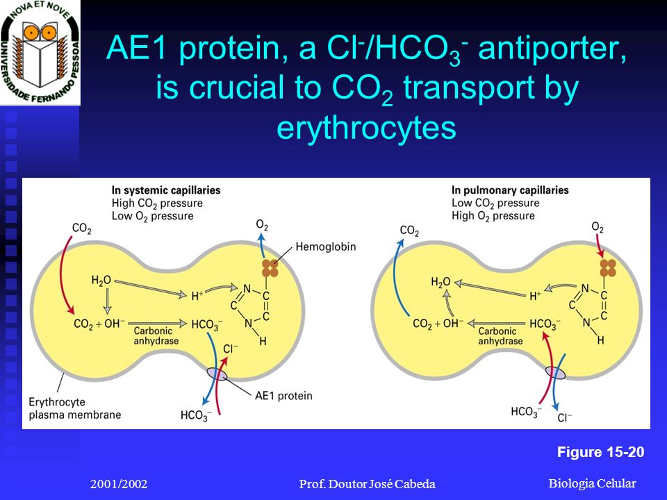 Biologia Celular 2001/2002Prof. Doutor José Cabeda AE1 protein, a Cl - /HCO 3 - antiporter, is crucial to CO 2 transport by erythrocytes Figure 15-20