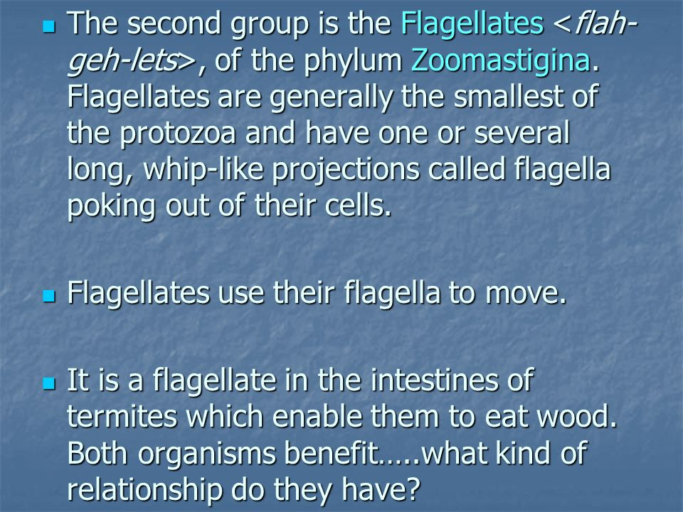 The second group is the Flagellates, of the phylum Zoomastigina. Flagellates are generally the smallest of the protozoa and have one or several long,