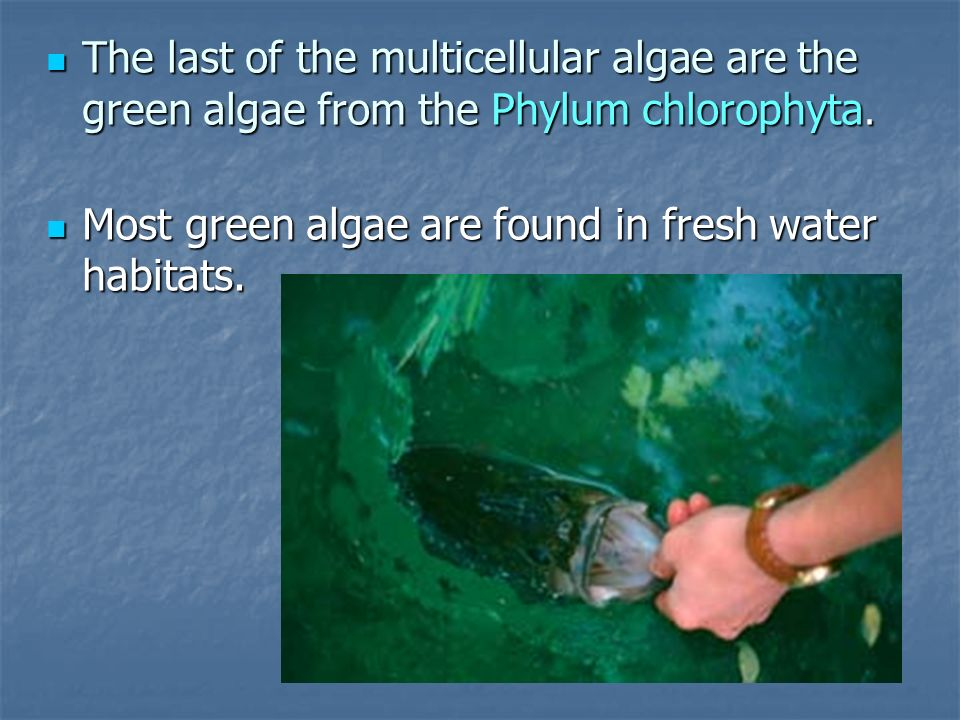 The last of the multicellular algae are the green algae from the Phylum chlorophyta. The last of the multicellular algae are the green algae from the