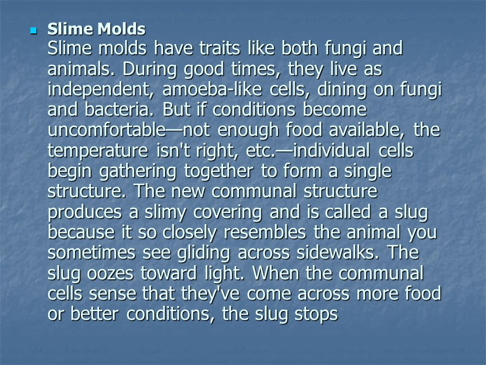 Slime Molds Slime molds have traits like both fungi and animals. During good times, they live as independent, amoeba-like cells, dining on fungi and b