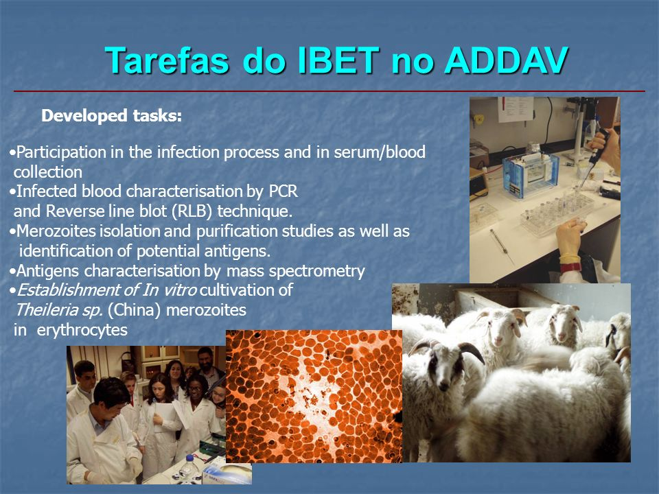 Tarefas do IBET no ADDAV Developed tasks: Participation in the infection process and in serum/blood collection Infected blood characterisation by PCR and Reverse line blot (RLB) technique.