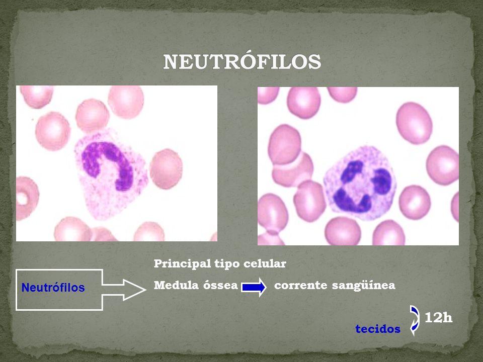 Neutrófilos Principal tipo celular Medula óssea corrente sangüínea tecidos 12h