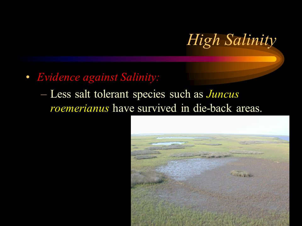 High Salinity Evidence against Salinity: –Less salt tolerant species such as Juncus roemerianus have survived in die-back areas.