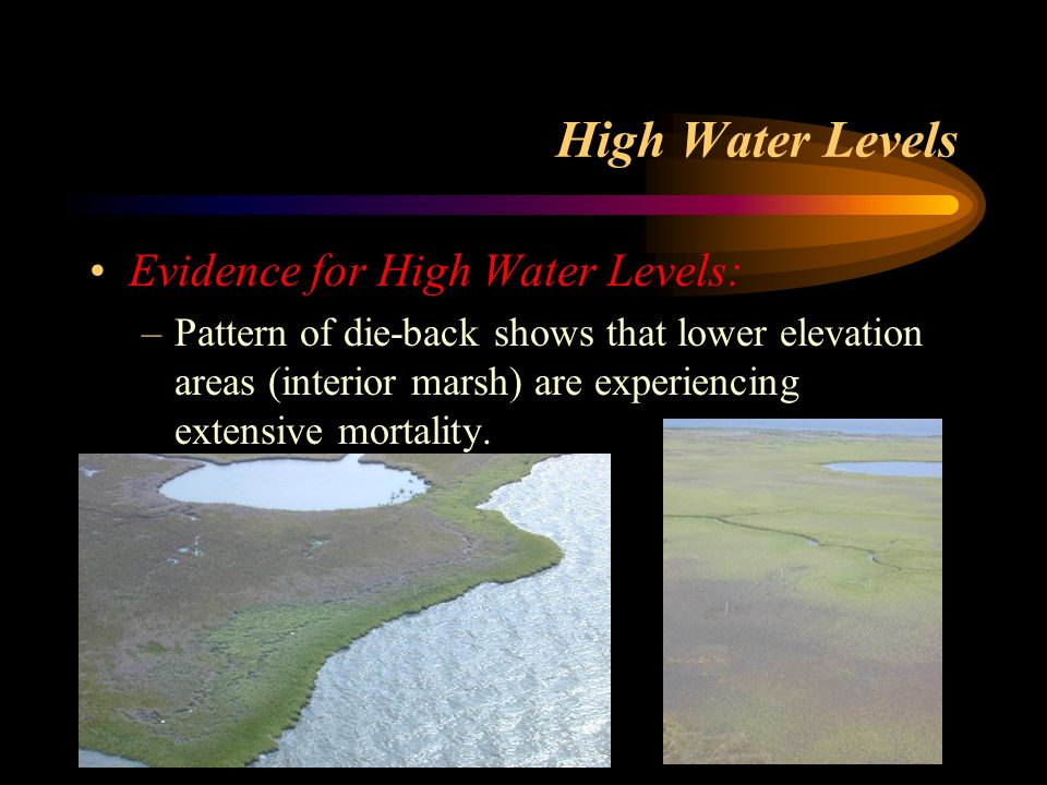 High Water Levels Evidence for High Water Levels: –Pattern of die-back shows that lower elevation areas (interior marsh) are experiencing extensive mo