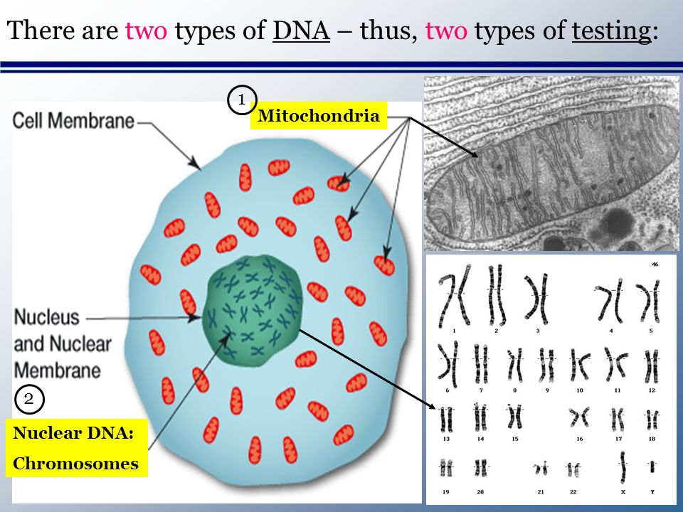 Mitochondria Nuclear DNA: Chromosomes There are two types of DNA – thus, two types of testing: 1 2