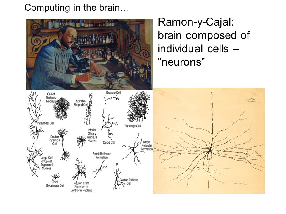 Ramon-y-Cajal: brain composed of individual cells – neurons Computing in the brain…