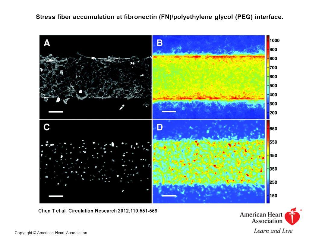 Stress fiber accumulation at fibronectin (FN)/polyethylene glycol (PEG) interface.