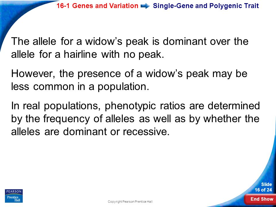 End Show 16-1 Genes and Variation Slide 16 of 24 Copyright Pearson Prentice Hall Single-Gene and Polygenic Trait The allele for a widows peak is domin