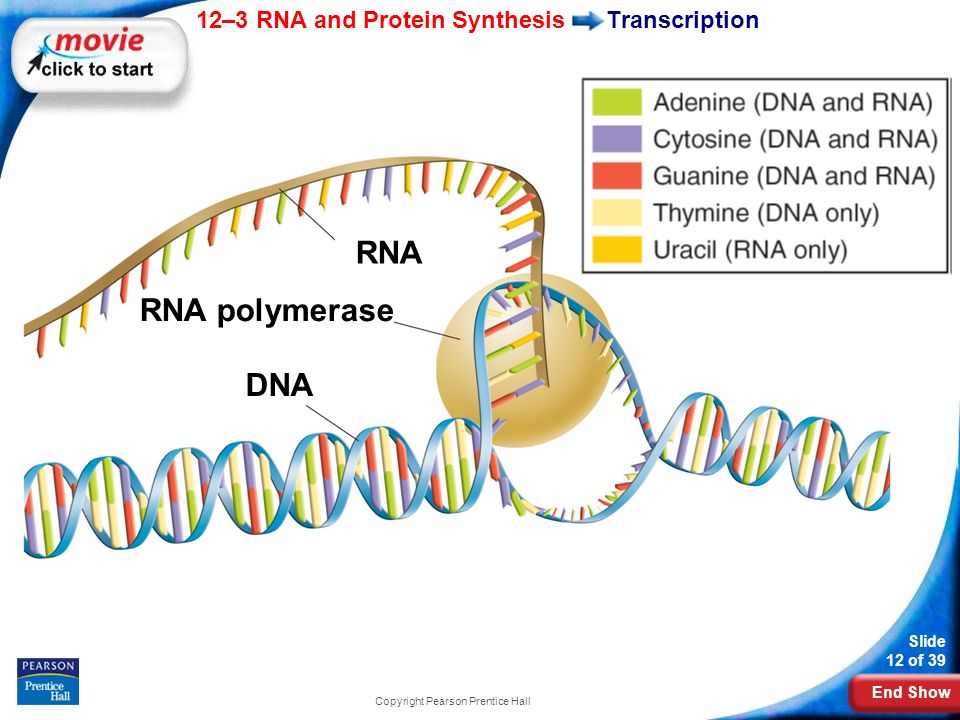 End Show 12–3 RNA and Protein Synthesis Slide 12 of 39 Copyright Pearson Prentice Hall Transcription RNA RNA polymerase DNA