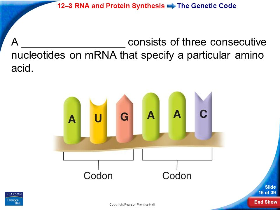 End Show 12–3 RNA and Protein Synthesis Slide 16 of 39 Copyright Pearson Prentice Hall The Genetic Code A _________________ consists of three consecut