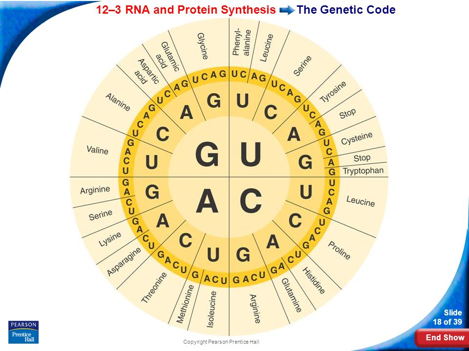 End Show 12–3 RNA and Protein Synthesis Slide 18 of 39 Copyright Pearson Prentice Hall The Genetic Code