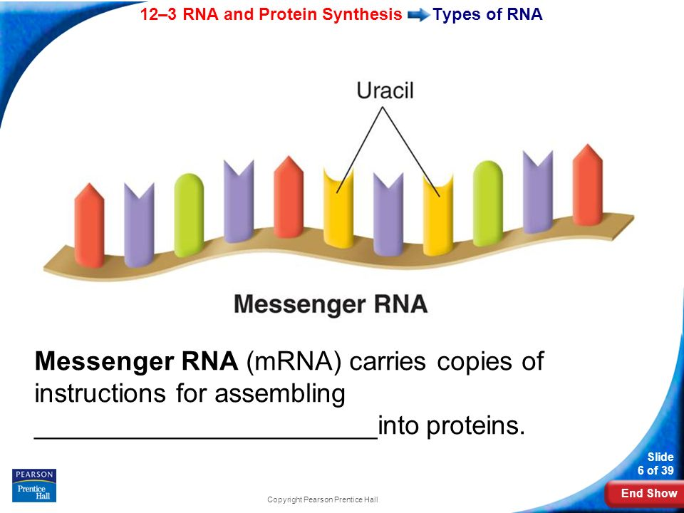 End Show 12–3 RNA and Protein Synthesis Slide 6 of 39 Copyright Pearson Prentice Hall Types of RNA Messenger RNA (mRNA) carries copies of instructions