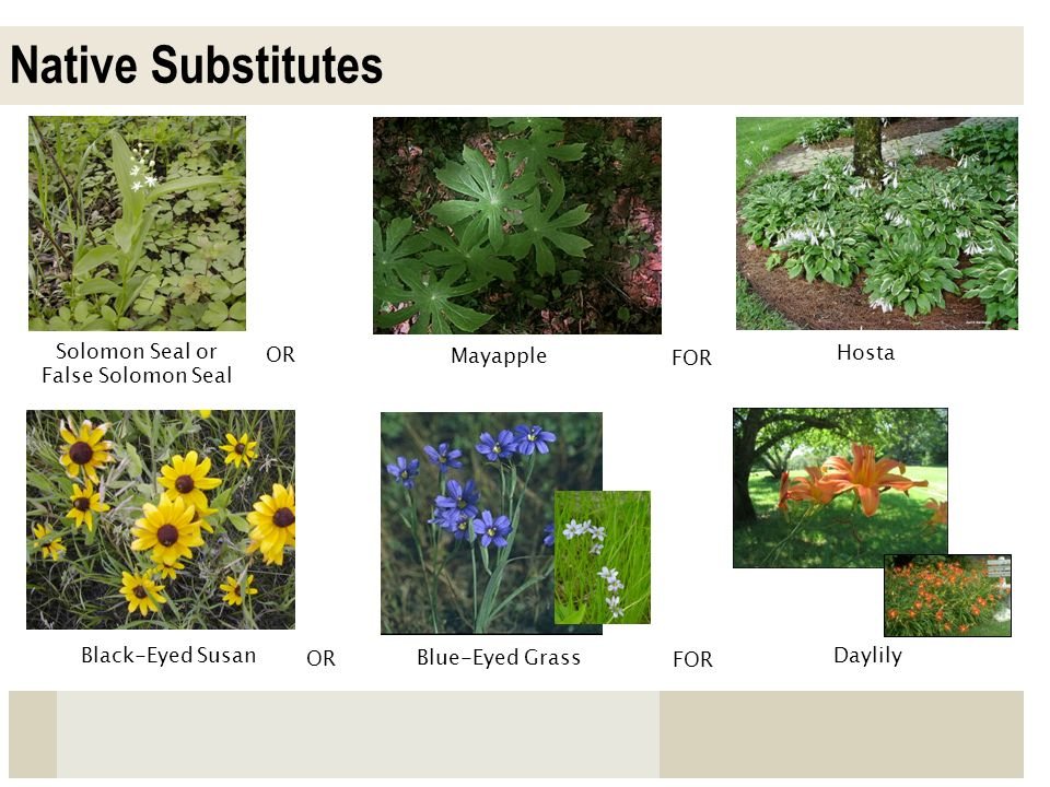 Native Substitutes Solomon Seal or False Solomon Seal OR Hosta Black-Eyed Susan OR FOR Mayapple Daylily FOR Blue-Eyed Grass
