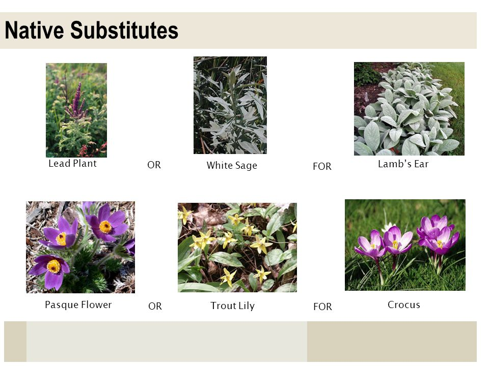 Native Substitutes Lead Plant OR Lambs Ear Pasque Flower OR FOR White Sage Crocus FOR Trout Lily