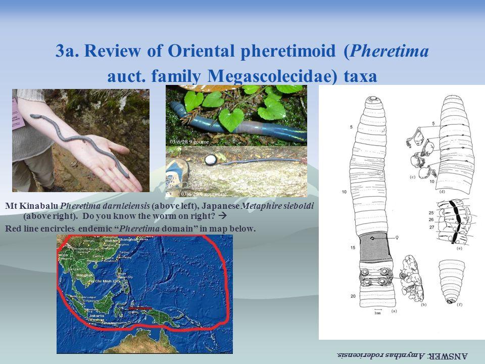 3a. Review of Oriental pheretimoid (Pheretima auct. family Megascolecidae) taxa Mt Kinabalu Pheretima darnleiensis (above left), Japanese Metaphire si
