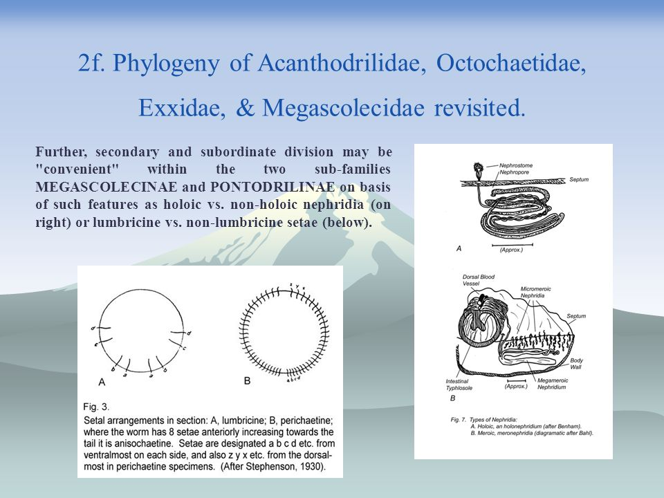 2f. Phylogeny of Acanthodrilidae, Octochaetidae, Exxidae, & Megascolecidae revisited. Further, secondary and subordinate division may be