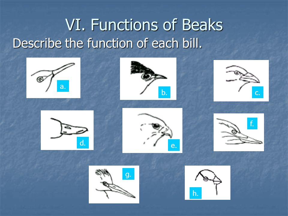 VI. Functions of Beaks VI. Functions of Beaks Describe the function of each bill.