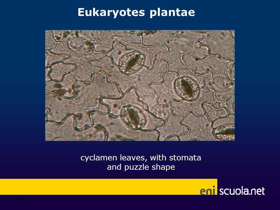 10 Eukaryotes plantae 10 cyclamen leaves, with stomata and puzzle shape