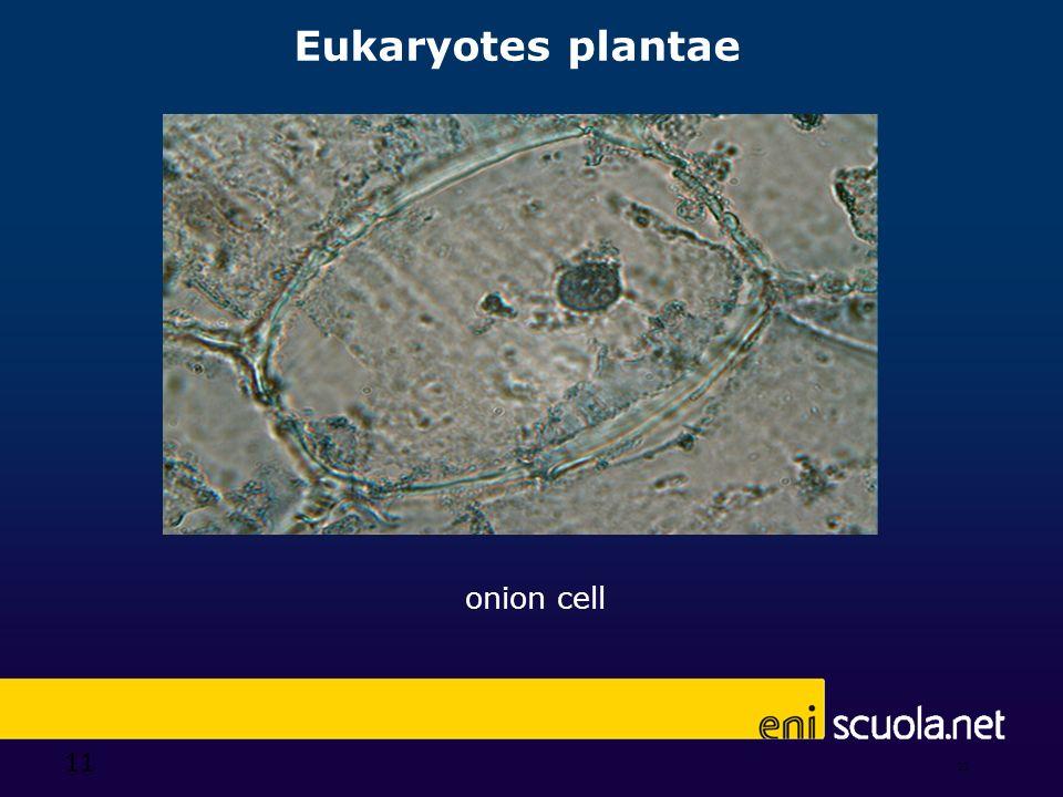 11 Eukaryotes plantae 11 onion cell