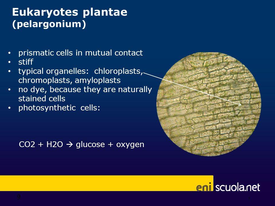 9 Eukaryotes plantae (pelargonium) 9 prismatic cells in mutual contact stiff typical organelles: chloroplasts, chromoplasts, amyloplasts no dye, becau