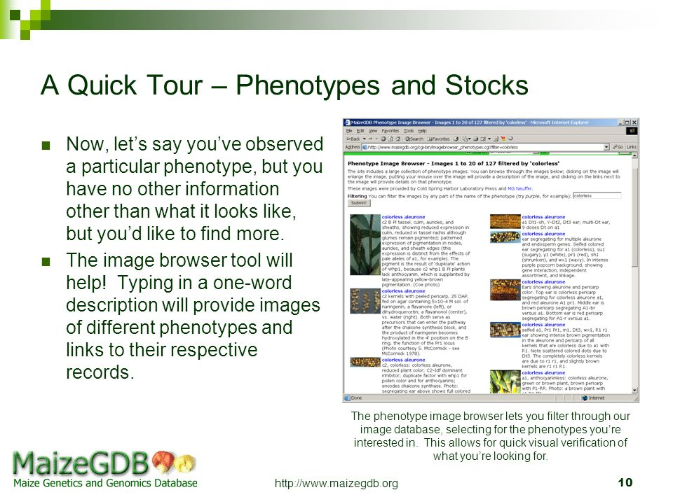 http://www.maizegdb.org10 A Quick Tour – Phenotypes and Stocks Now, lets say youve observed a particular phenotype, but you have no other information