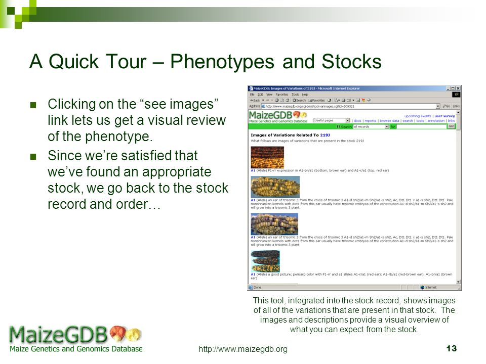 http://www.maizegdb.org13 A Quick Tour – Phenotypes and Stocks Clicking on the see images link lets us get a visual review of the phenotype. Since wer