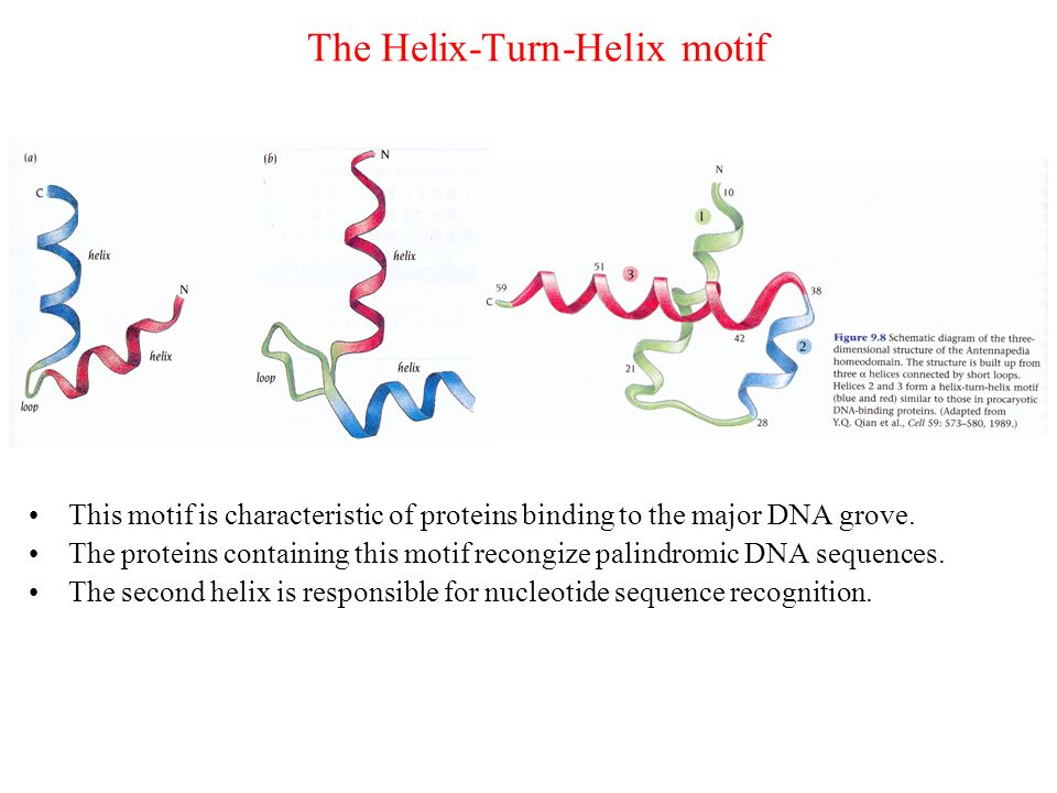 The Helix-Turn-Helix motif This motif is characteristic of proteins binding to the major DNA grove. The proteins containing this motif recongize palin
