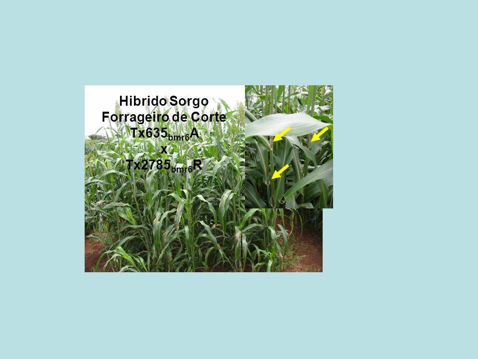 Hibrido Sorgo Forrageiro de Corte Tx635 bmr6 A x Tx2785 bmr6 R