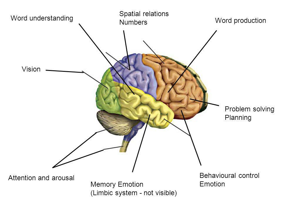Word understanding Memory Emotion (Limbic system - not visible) Vision Spatial relations Numbers Word production Problem solving Planning Behavioural