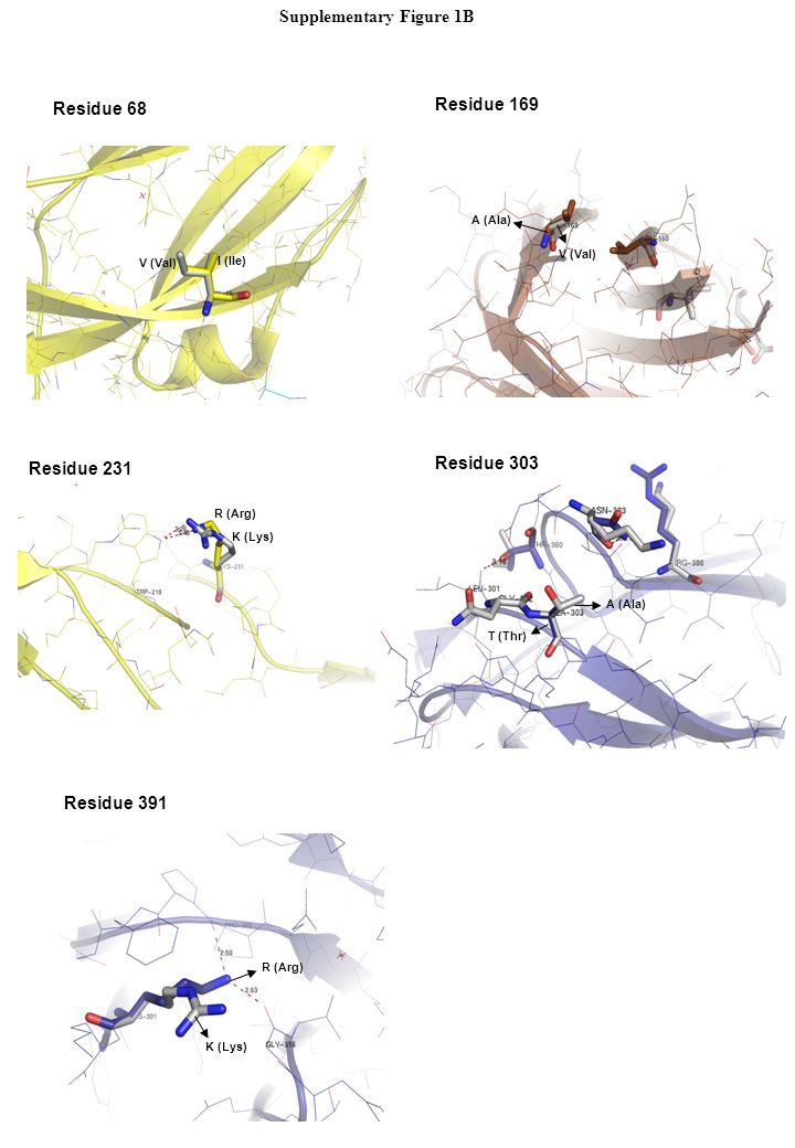 Residue 68 I (Ile) V (Val) Residue 169 A (Ala) V (Val) R (Arg) K (Lys) Residue 231 Residue 303 T (Thr) A (Ala) Residue 391 R (Arg) K (Lys) Supplementa