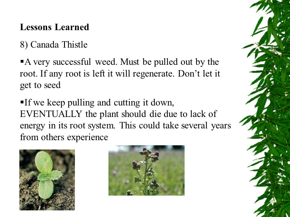 Lessons Learned 8) Canada Thistle A very successful weed. Must be pulled out by the root. If any root is left it will regenerate. Dont let it get to s