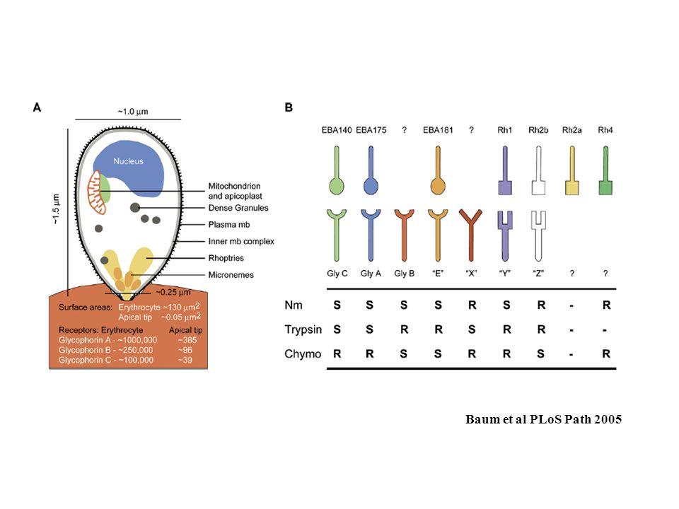 Baum et al PLoS Path 2005