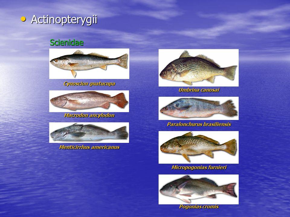 Actinopterygii Actinopterygii Micropogonias furnieri Pogonias cromis Scienidae Cynoscion guatucupa Macrodon ancylodon Menticirrhus americanus Umbrina
