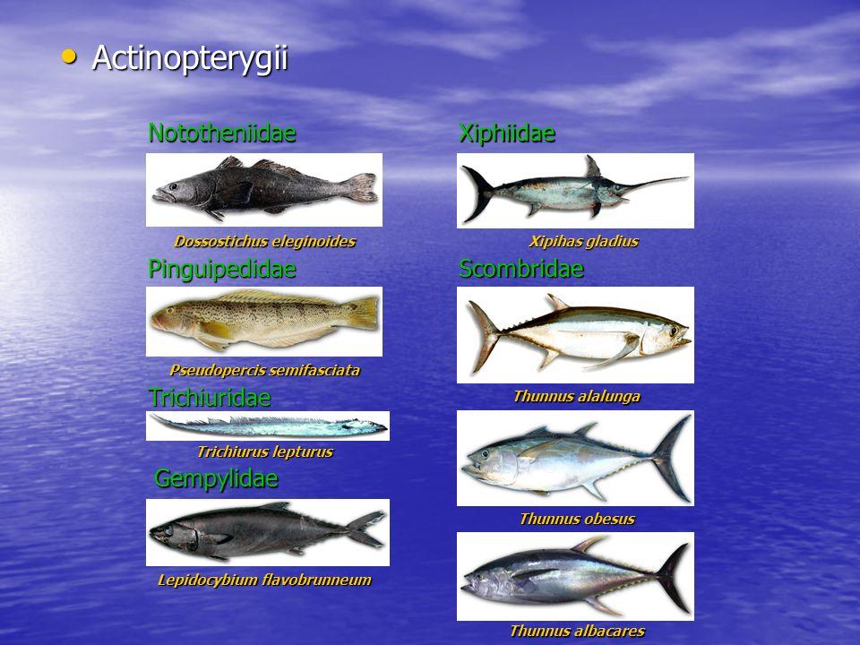 Actinopterygii Actinopterygii Xiphiidae Thunnus alalunga Nototheniidae Dossostichus eleginoides Scombridae Xipihas gladius Xiphiidae Pinguipedidae Pse