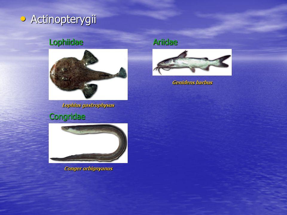 Actinopterygii Actinopterygii Lophiidae Lophius gastrophysus Genidens barbus Ariidae Conger orbignyanus Congridae