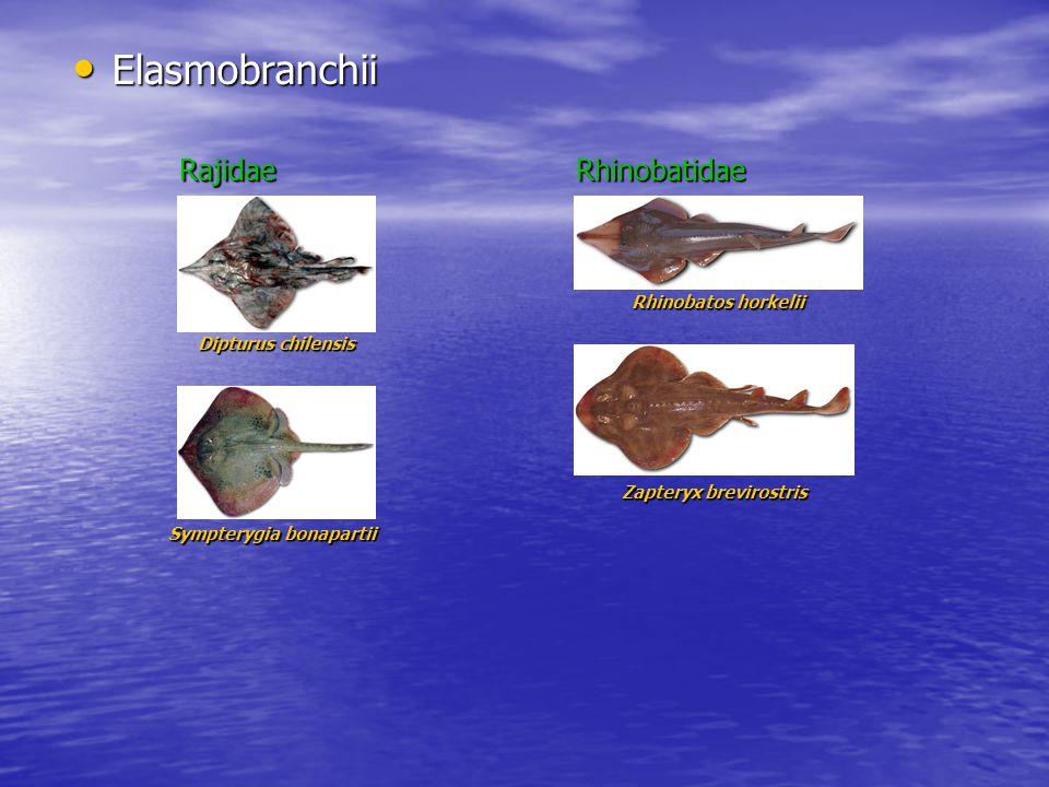 Elasmobranchii Elasmobranchii Dipturus chilensis Sympterygia bonapartii Rajidae Rhinobatos horkelii Zapteryx brevirostris Rhinobatidae