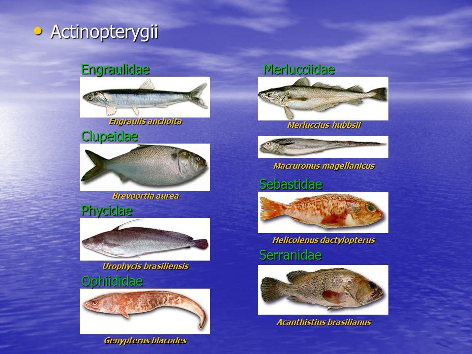 Actinopterygii Actinopterygii Engraulis anchoita Brevoortia aurea Engraulidae Clupeidae Urophycis brasiliensis Merluccius hubbsii Phycidae Merlucciida