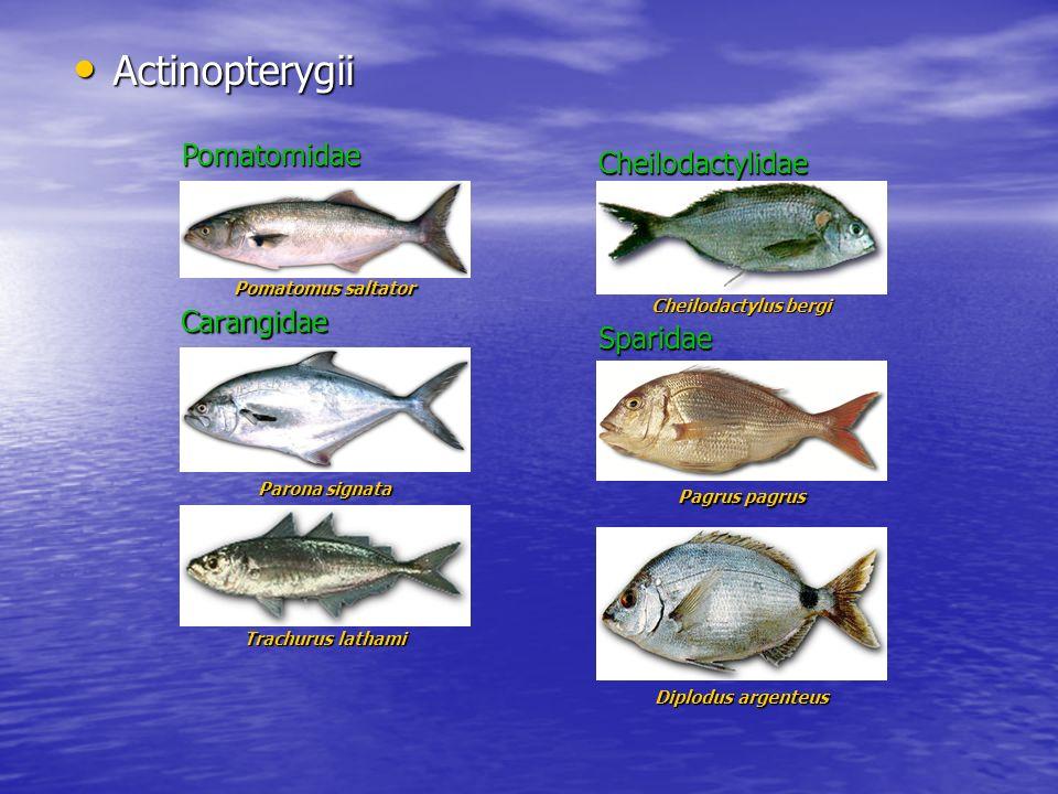 Actinopterygii Actinopterygii Parona signata Cheilodactylus bergi Carangidae Cheilodactylidae Pagrus pagrus Sparidae Diplodus argenteus Pomatomus salt