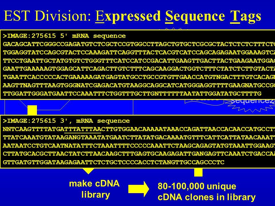 EST Division: Expressed Sequence Tags 80-100,000 RNA gene products nucleus 80-100,000 genes 80-100,000 unique cDNA clones in library - isolate unique clones - sequence once from each end TAGTCA CGTACT sequence1 sequence2 clone xyz make cDNA library ESTs dbEST http://www.ncbi.nlm.nih.gov/dbEST/ >IMAGE:275615 3 , mRNA sequence NNTCAAGTTTTATGATTTATTTAACTTGTGGAACAAAAATAAACCAGATTAACCACAACCATGCCTTACT TTATCAAATGTATAAGANGTAAATATGAATCTTATATGACAAAATGTTTCATTCATTATAACAAATTTCC AATAATCCTGTCAATNATATTTCTAAATTTTCCCCCAAATTCTAAGCAGAGTATGTAAATTGGAAGTTAA CTTATGCACGCTTAACTATCTTAACAAGCTTTGAGTGCAAGAGATTGANGAGTTCAAATCTGACCAAGAT GTTGATGTTGGATAAGAGAATTCTCTGCTCCCCACCTCTANGTTGCCAGCCCTC >IMAGE:275615 5 mRNA sequence GACAGCATTCGGGCCGAGATGTCTCGCTCCGTGGCCTTAGCTGTGCTCGCGCTACTCTCTCTTTCTGGCC TGGAGGTATCCAGCGTACTCCAAAGATTCAGGTTTACTCACGTCATCCAGCAGAGAATGGAAAGTCAAAT TTCCTGAATTGCTATGTGTCTGGGTTTCATCCATCCGACATTGAAGTTGACTTACTGAAGAATGGAGAGA GAATTGAAAAAGTGGAGCATTCAGACTTGTCTTTCAGCAAGGACTGGTCTTTCTATCTCTTGTACTACAC TGAATTCACCCCCACTGAAAAAGATGAGTATGCCTGCCGTGTTGAACCATGTNGACTTTGTCACAGNCCC AAGTTNAGTTTAAGTGGGNATCGAGACATGTAAGGCAGGCATCATGGGAGGTTTTGAAGNATGCCGCNTT TTGGATTGGGATGAATTCCAAATTTCTGGTTTGCTTGNTTTTTTAATATTGGATATGCTTTTG