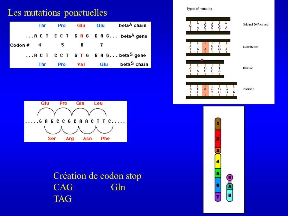 Les mutations ponctuelles Création de codon stop CAGGln TAG