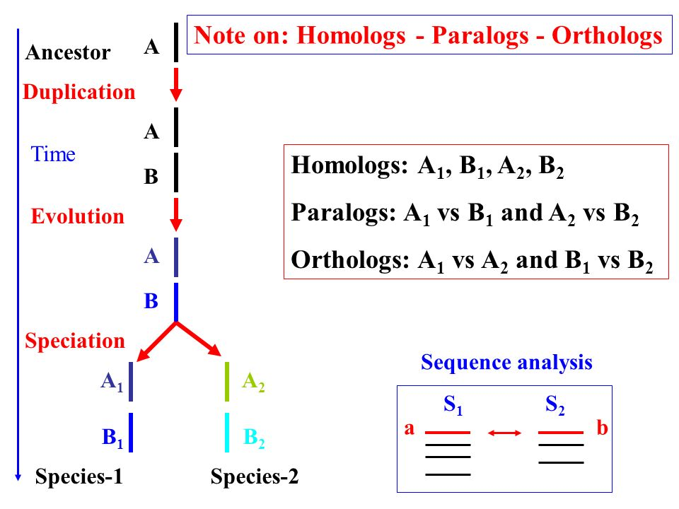 Note on: Homologs - Paralogs - Orthologs Homologs: A 1, B 1, A 2, B 2 Paralogs: A 1 vs B 1 and A 2 vs B 2 Orthologs: A 1 vs A 2 and B 1 vs B 2 S1S1 S2