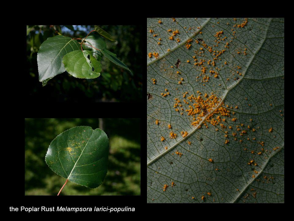 the Poplar Rust Melampsora larici-populina